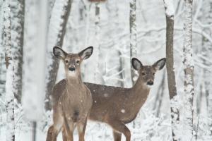 snowy-deer